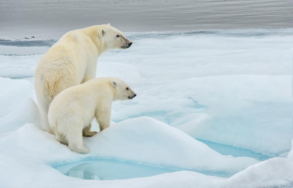 Ice Cool Facts About Polar Bears